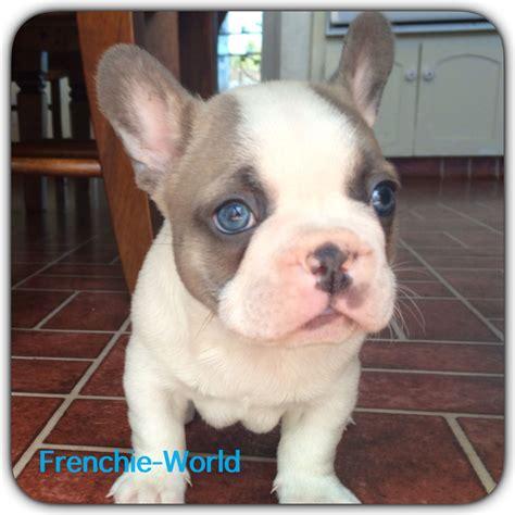 blue eye frenchie bulldog blue and producer