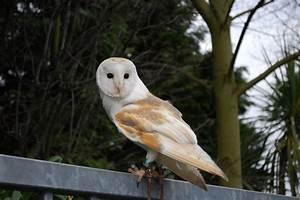Barn Owl Facts For Kids - Barn Owl Behavior & Diet