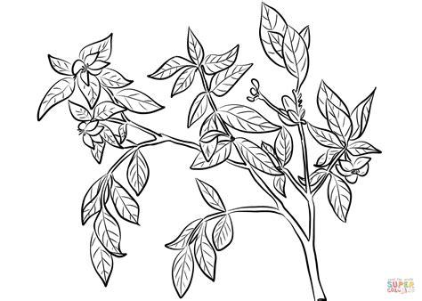 Cape Jasmine (Gardenia Jasminoides) Coloring Page