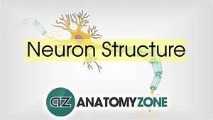 Neuron Structure - Neuroanatomy Basics