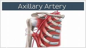 Axillary Artery  U2013 Definition  Anatomy  Branches  Injury