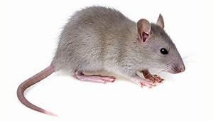 Piege A Rat Castorama : anti souris maison interesting pige souris simple pige lectrique pour rats et souris arrire ~ Voncanada.com Idées de Décoration