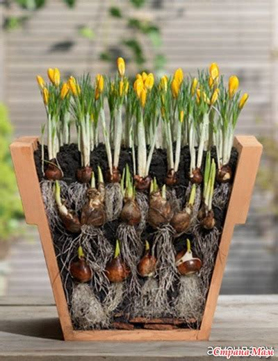 как посадить луковичные в горшки для обильного цветения
