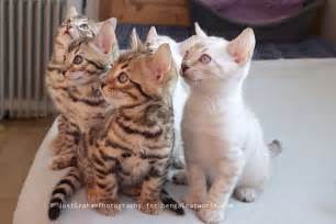 bangel cats advice for bengal cat owners bengal cat world