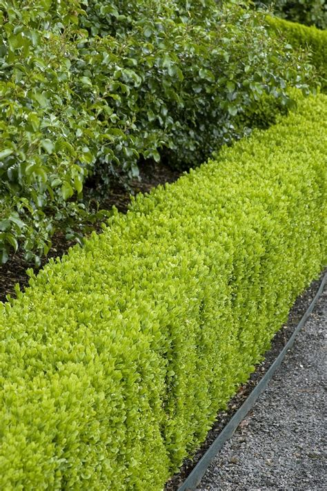 hedge bushes top 10 best plants for hedges and how to plant them