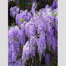 Blue Chinese Wisteria Seeds  Wisteria Sinensis
