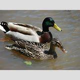 Drake Mallard Duck   1200 x 900 jpeg 361kB