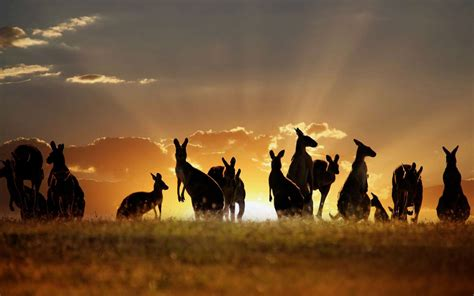 All Animal Wallpaper Hd - kangaroos wallpapers this wallpaper