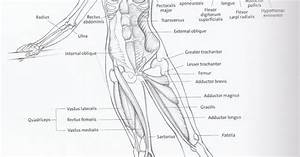 Basic Anatomical Diagram Including Bones And Major Muscle