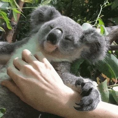 wet koala gifs find share  giphy
