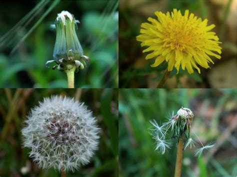 """life Cycle Of A Dandelion"" By Juliana C  In The Garden  Pinterest Dandelions"