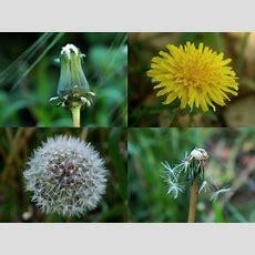 """life Cycle Of A Dandelion"" By Juliana C  In The Garden  Pinterest Dandelions"