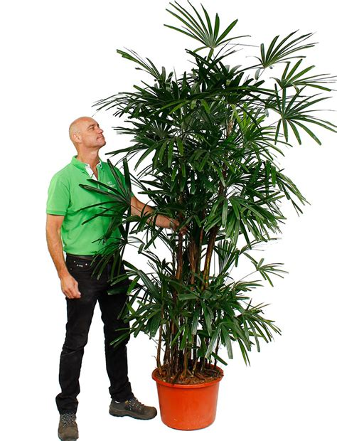 Große Zimmerpflanzen Günstig gro 223 e zimmerpflanzen kaufen 123zimmerpflanzen
