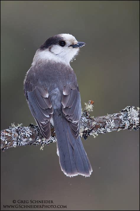 gray jay    perched
