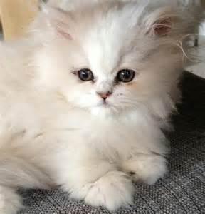chinchilla cat longhair cats chinchilla catnipsum