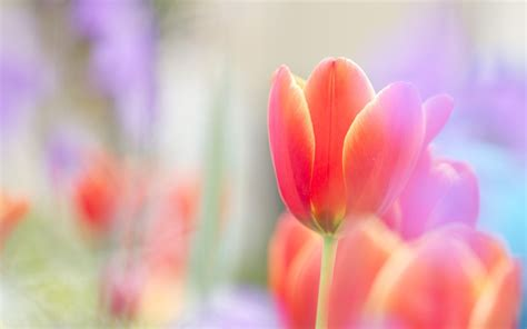Hd Tulip Background by Scarlet Tulip Wallpapers 4k Wide Screen Wallpaper 1080p