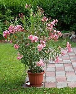 Oleander Im Winter : oleander tipps pflege schneiden berwintern pflanzen ~ Orissabook.com Haus und Dekorationen