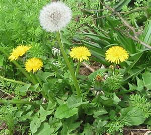 Identifying common garden weeds weedicidecouk for Garden of weed