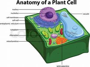 Diagram Showing Anatomy Of Plant Cell Illustration