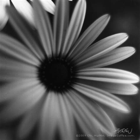 Fleur 123 Daisy 雛菊 • Image Coffee Grey • A Monochrome