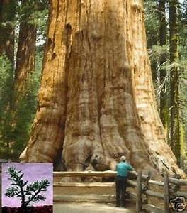 Sakura Baum Kaufen : gr ter baum der welt samen beliebter bonsai bergmammutbaum ebay ~ Frokenaadalensverden.com Haus und Dekorationen