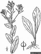 Mustard Plant Coloring Seed Lepidium Template Pages Plants Hoary Cress Sketch Templates sketch template