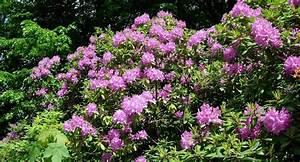 Rhododendron Blüht Nicht : rhododendron schneiden ein ratgeber garden blog ~ Frokenaadalensverden.com Haus und Dekorationen