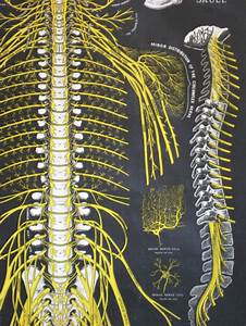 The Spine And Spinal Nerves
