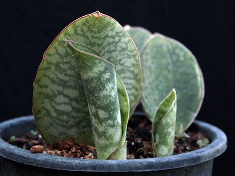 sansevieria masoniana masons congo world  succulents