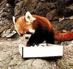 The Red Panda, a fierce predator. - GIF on Imgur