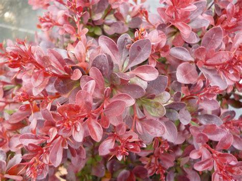 Berberis Thunbergii Atropurpurea by Berberis Thunbergii Atropurpurea Nana