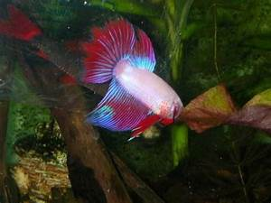Funny Pictures Gallery  Rainbow Shark Fish  Albino Rainbow Sharks  Red Tail Shark Vs Rainbow