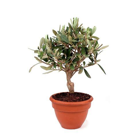 comment entretenir un olivier en pot oliviers en pot 28 images cultiver un olivier en pot
