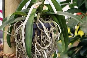 Luftwurzeln Bei Orchideen : luftwurzeln bei orchideen so gehen sie damit richtig um u a vertrocknete welke luftwurzeln ~ Frokenaadalensverden.com Haus und Dekorationen