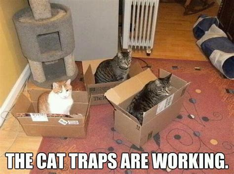 Cat Trap Meme - marines capture leopard with the old box and stick trap pics