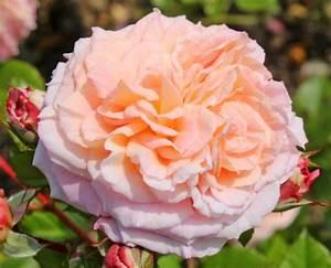 Hibiskus Wann Zurückschneiden : adr rosen adr rosen assortiment adr rosen adr rosen 2015 ~ Lizthompson.info Haus und Dekorationen