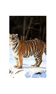 You can track and observe wild tigers in this Siberian safari