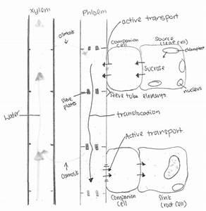 Xylem And Phloem Drawing