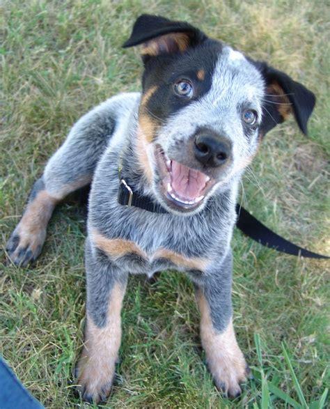 rhodesian ridgeback queensland heeler dog breeds picture