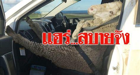 รับแกะหลงทางขึ้นรถ คุณพ่อลูกสี่ใจดี คาดเข็มขัดนิรภัยให้ ...