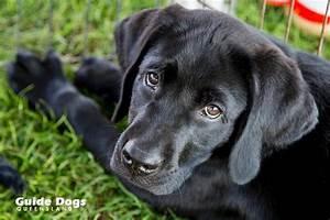 raising guide dog raising awareness guide dogs queensland