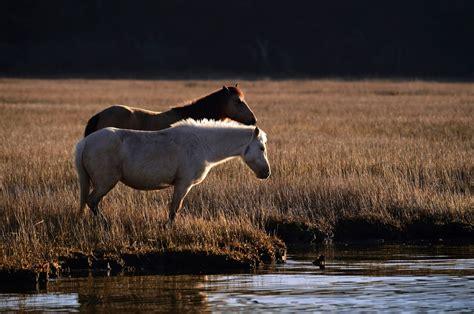 wild ponies chincoteague island horses swamp cancer