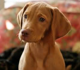 akc vizsla puppies for sale picking your pup golden