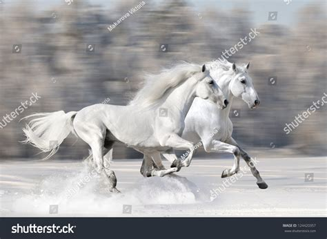 fast run horses winter gallop shutterstock