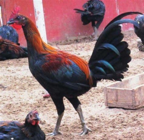 Ayam peru ( pure peruvian ) kocokan mesin obras bisnis ternak ayam aduan peru sangat menguntungkan karena harga. Ayam Peru Ayam Aduan Taji Pisau. Sabung Ayam Online