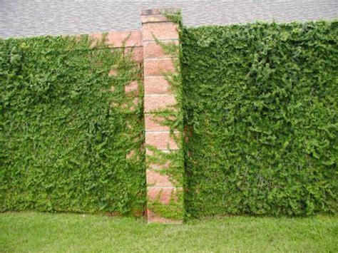 Zaun Begrünen Immergrün by Immergr 252 Ne Kletterpflanzen Tolle Bilder Archzine Net
