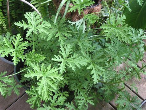 where can i buy citronella plants citronella plant smells lemony fresh plants pinterest citronella plant plants and shrub