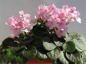 Lang Blühende Pflanzen : lang bl hende zimmerpflanzen usambaraveilchen ~ Eleganceandgraceweddings.com Haus und Dekorationen