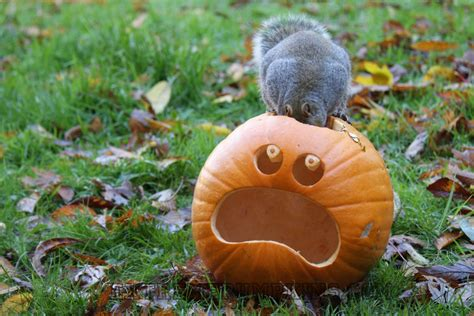 squirrel pumpkin carving patterns the squirrel eating a pumpkin