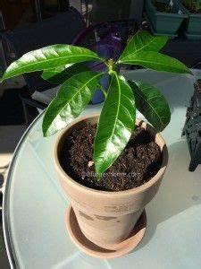 Planter Noyau Mangue : comment faire germer un noyau de mangue jardins ~ Melissatoandfro.com Idées de Décoration